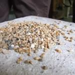 Le blé, avant nettoyage